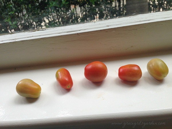 My first tomato harvest