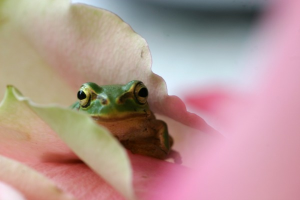 frog and flower (morgueFile)