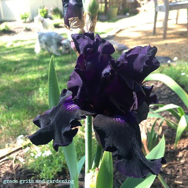 Black Iris in my Fayetteville garden