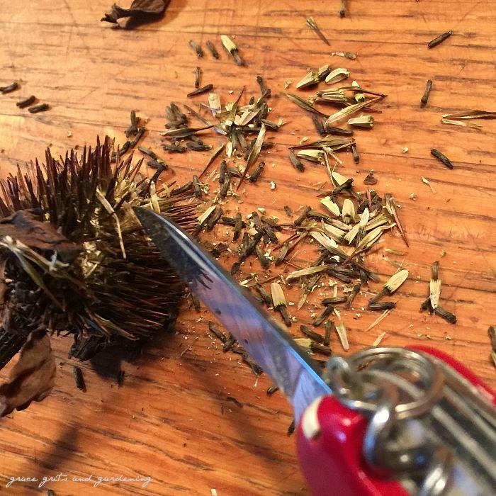 harvesting coneflower seeds