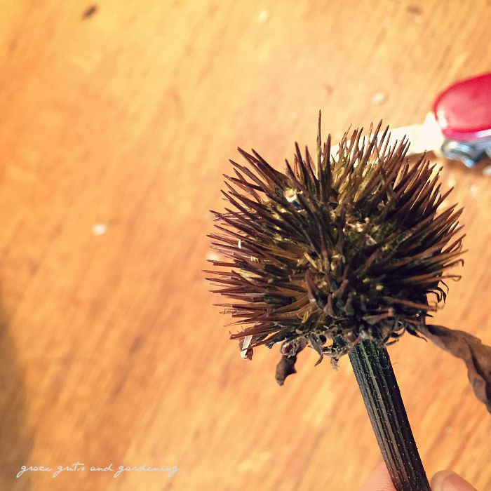 how to harvest coneflower seeds