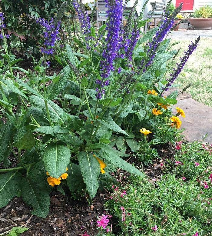 Salvia in the garden