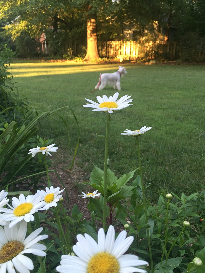 Annabelle and Daisies