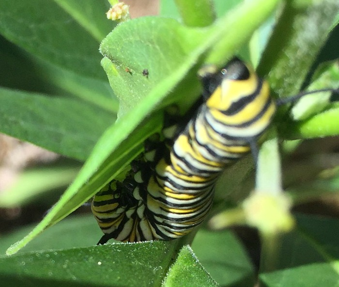 Monarch caterpillar - up close and personal!