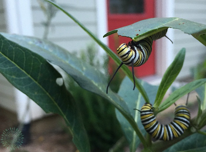 I have lots of monarch caterpillars on one host plant.