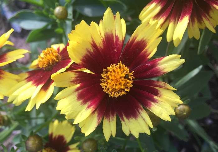 A Pop of Spring Color - Monrovia Coreopsis