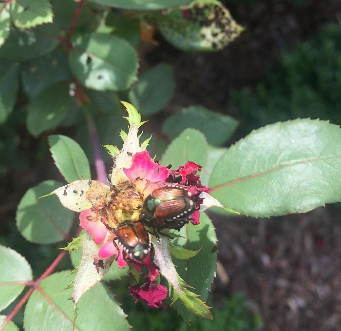 Japanese beetles eating my roses