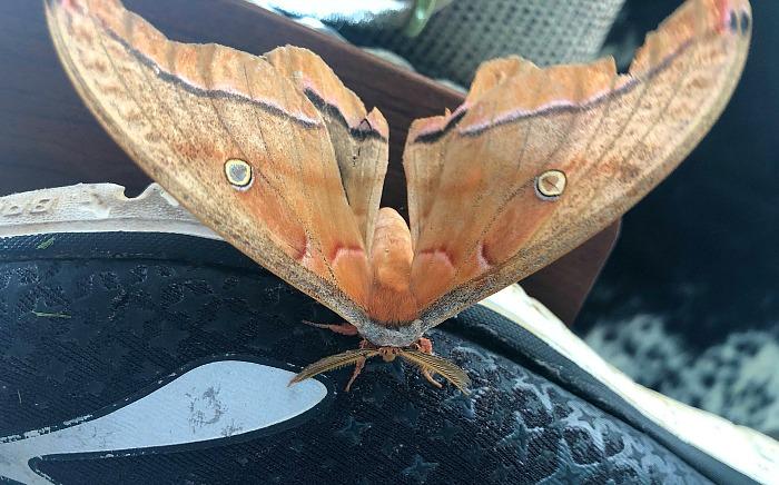 A Polyphemus Moth Came to Visit